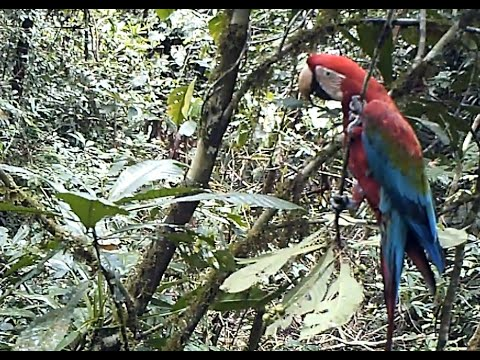 Birds of TreeTopManu; the Manu Biosphere Reserve