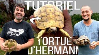 Testudo hermanni hermanni - Tortue d'Hermann vidéo