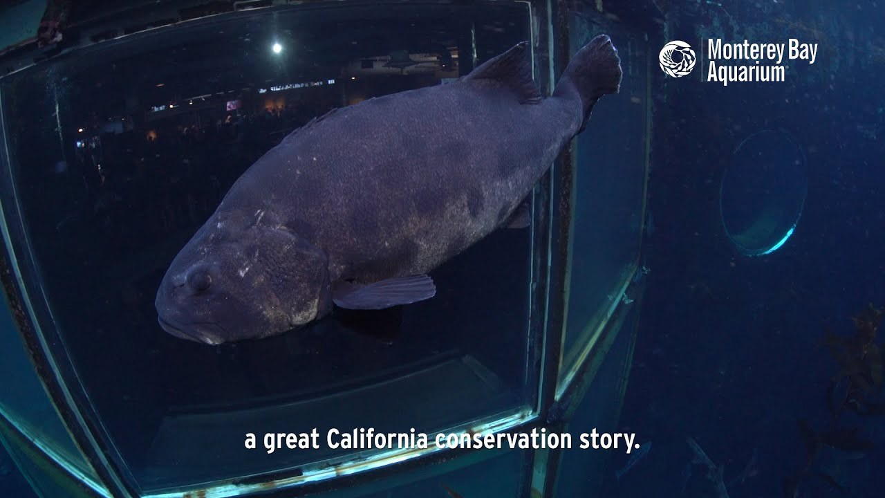 The giant sea bass a California conservation story