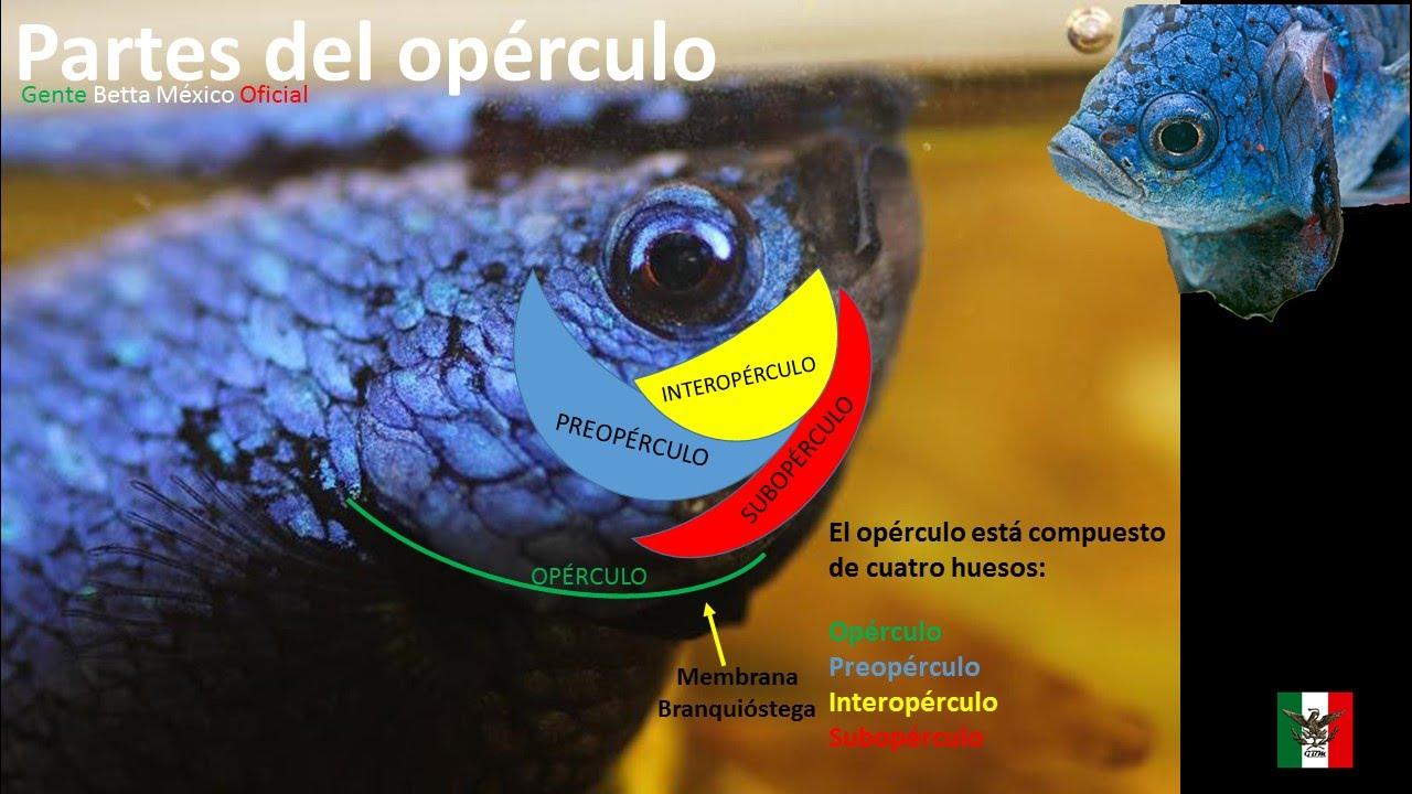 GENTE BETTA MÉXICO OFICIAL El Opérculo sus partes y sus funciones ...