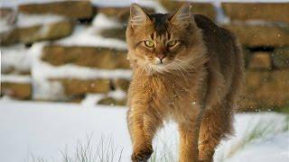 Сомалийская Кошка, описание, характер, Породы кошек
