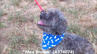 "Adopted!!!!   ""max Brown""  8 Mo Old Male Shih Tzu And Schnauzer Mix (a374074)"