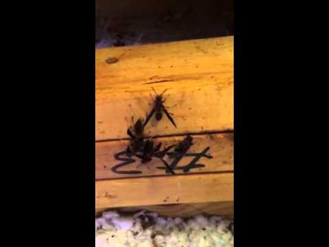 Early-Stage Wasps Nest in an Attic in Atlanta & Early-Stage Wasps Nest in an Attic in Atlanta - YouTube