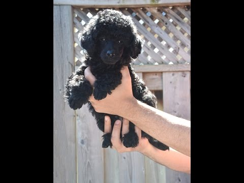 Adventure Box - Miniature Poodle Puppy - 8 weeks old