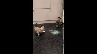Бенгальские котята - ручные леопардики!