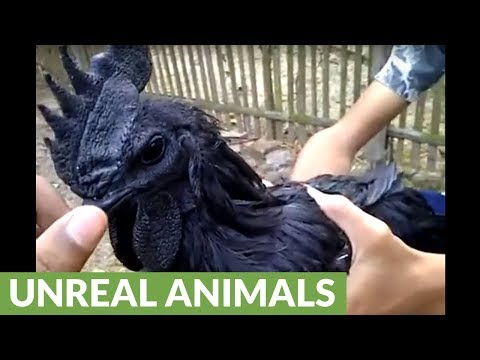 Exotic breed of chicken is entirely black in color