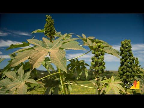 Clique e veja o vídeo Curso Cultivo e Processamento de Mamona