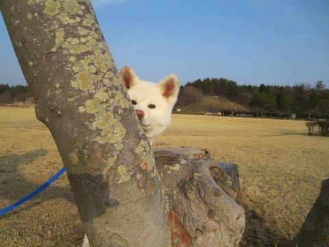 秋田犬芝生の公園で飼い主と思いっきり遊ぶ【akita dog puppy】