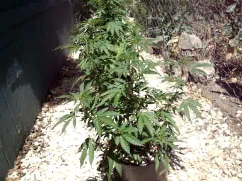 100% Organic Grow WEEK 5 of FLOWER (indoor)  Compost Tea Fed!  Living soil!