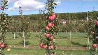 UMass Fruit Advisor: Sep 12, 2007-2nd leaf Honeycrisp on B.9