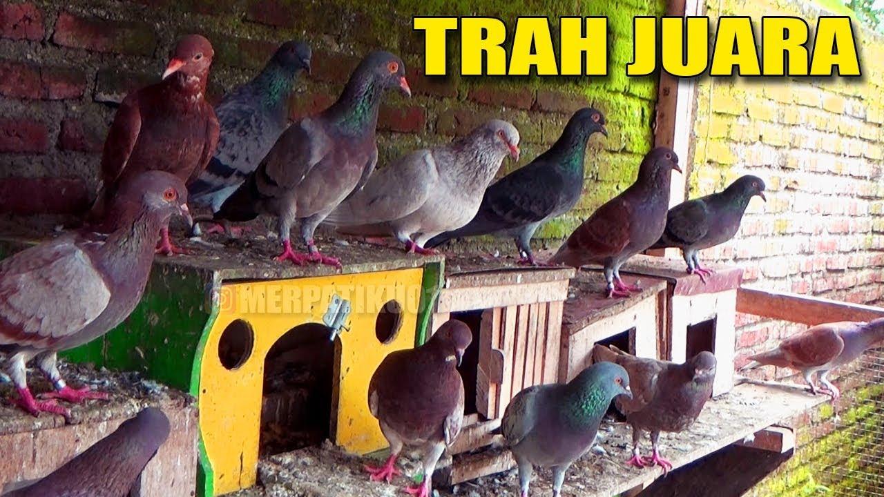 Grebek Peternak Burung Merpati Trah Juara Youtube