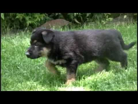 German Shepherd Puppy From 6 Weeks To 1