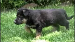 German Shepherd Puppy From 6 Weeks To 1 Year