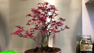Deshojo Japanese Maple Acer Palmatum Deshojo Japanese Maple