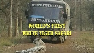 World's First White Tiger Safari