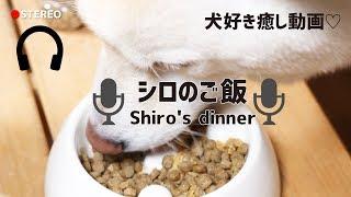 シロがご飯食べてるところをいいマイクで撮影しました(笑) 流行りのASMR...