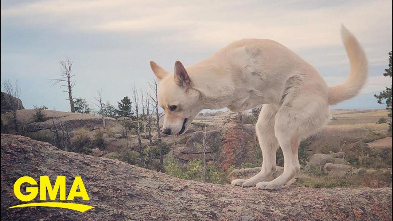 Two-legged dog looks just like a baby kangaroo l GMA Digital