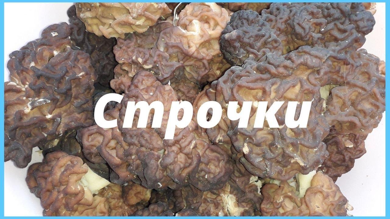 Строчки - первые весенние грибы. Собираем строчки