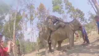 Video Elephant Sex in Chiang Mai, Thailand download MP3, 3GP, MP4, WEBM, AVI, FLV Juli 2018