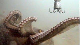 octpus fishing 水中で見るタコ釣りの一部始終 thumbnail