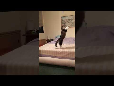 My Norwegian forest jumping cat (8 months)