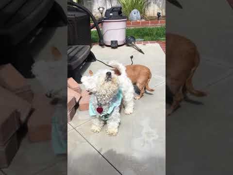 California Poodle Rescue - ADOPTIONS - Rescue Me!