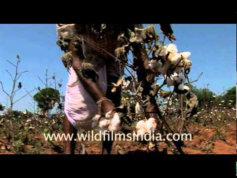 Picking cotton from the fields, India