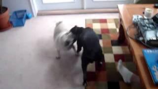 Pug Vs Pitbull