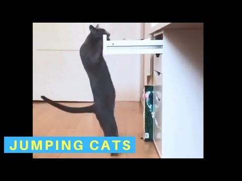 Funny videos of cats jumping
