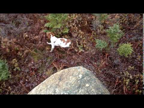 French Brittany Spaniel Puppy, incredibly agile!