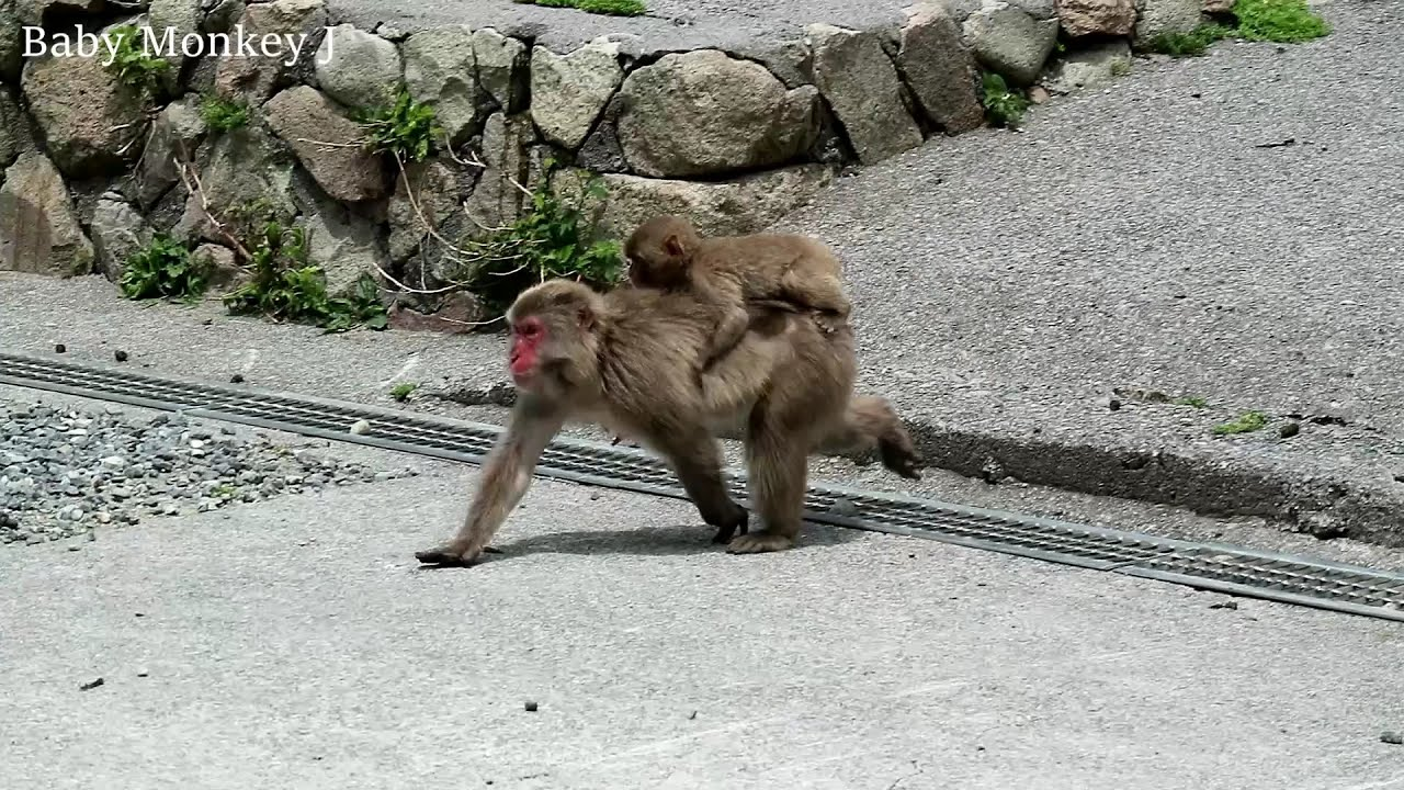 Mom monkey chasing the thrown food