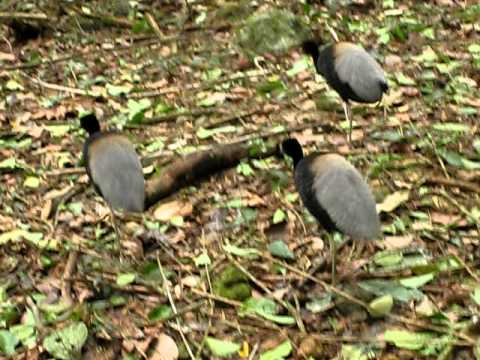 strange bunny rabbit and birds in suriname forrest 2