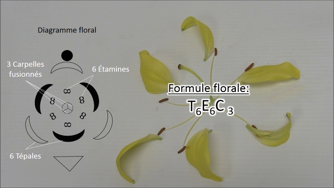 hight resolution of dissection florale diagramme floral et formule florale
