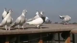 PIGEONS OF RASHID ALI SHAH 2