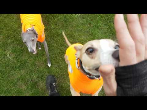 Racing whippets get to nearly full speed on a dog walk