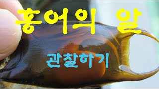 홍어알(Korea Ray fish egg)