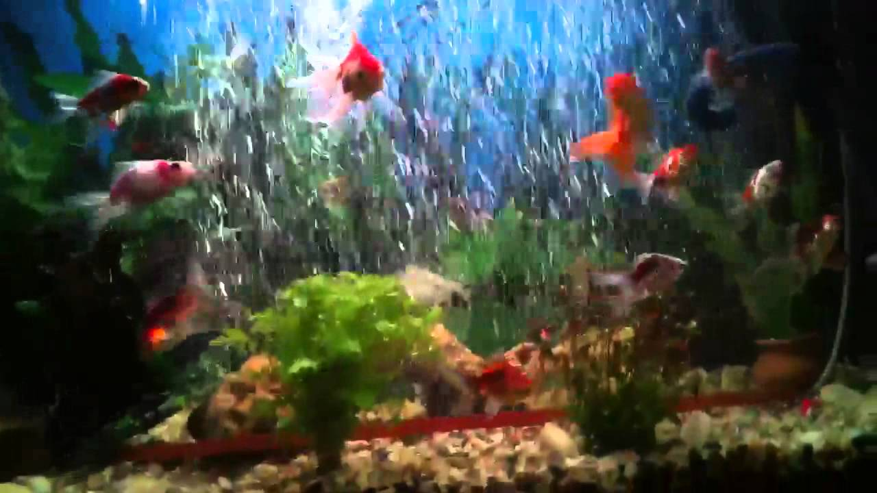 Goldfish and angel fish aquarium youtube for Can tropical fish live with goldfish