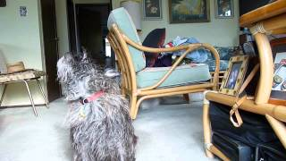 Toto The Cute Dog Talks And Howls
