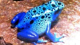 世界一美しいカエルの繁殖成功