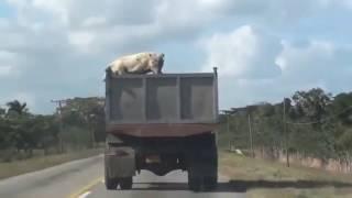 Un cochon saute d'un camion qui l'emmenait à l'abattoir