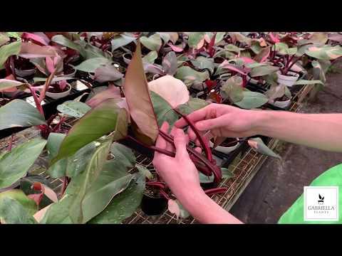 Gabriella Plants - Updated Pink Princess Care Tips (July 2019)