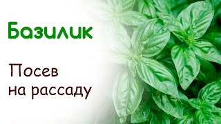 видео Как вырастить базилик из семян