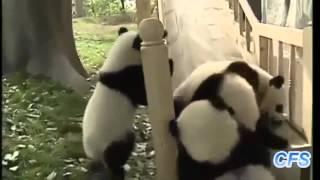 Панды как дети весело катаются с горки