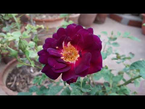 Midnight Blue Rose Flower In My Terrace Garden (Stay Tuned For Full Video)