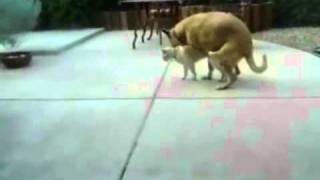 Dogs humps a Cat while another cat watches REALLY FUNNY!!