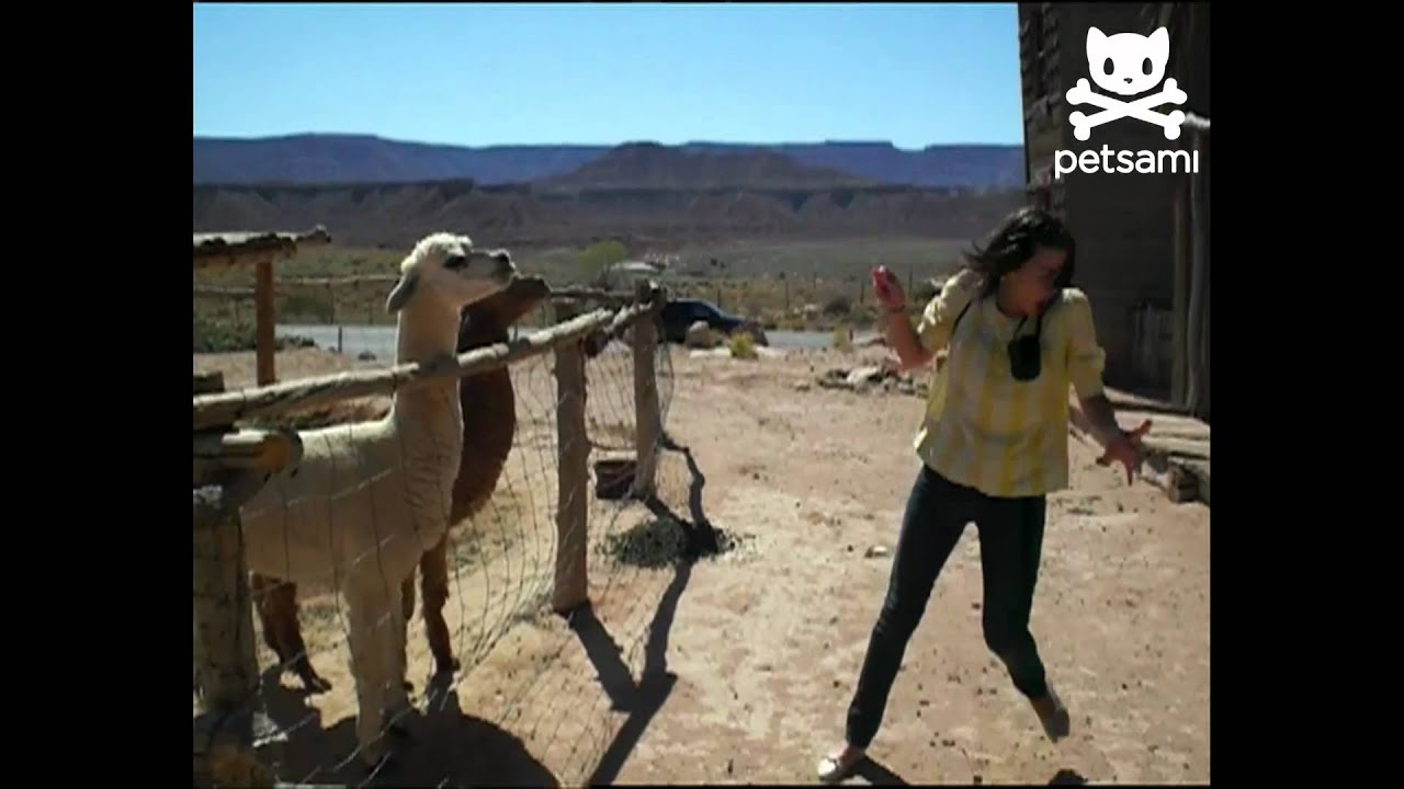 Download Angry llama spits on woman