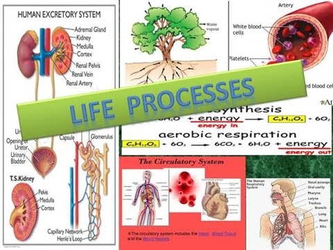 understanding the process of metabolism in the human body Digestive and respiratory systems functioning of body systems which we then use to create energy such as in the process of respiration in the human body energy is often linked to metabolism which is the sum of all the chemical reactions energy in the human body: metabolism.