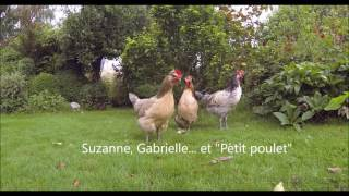 Poules brabançonnes, au travail dans le jardin - été 2016