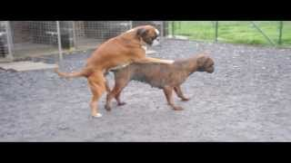 Repeat youtube video New Mating 2013 à l'elevage des Chetemis