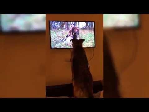 Harley The German Shepherd Watches Outdoor Channel - Dog Watching TV